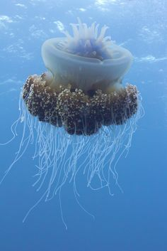 Underwater world - the amazing form of a jellyfish Under The Water, Under The Ocean, Sea And Ocean, Underwater Creatures, Underwater Life, Ocean Creatures, Medusa, Beautiful Sea Creatures, Undersea World