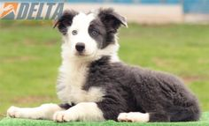 Mostly White Border Collie Animals Pinterest Close