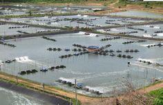 Big shrimp farm