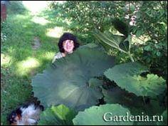 белокопытник в саду