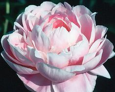Klehm's Song Sparrow Farm and Nursery--Peonies/Paeonia--'Mrs. Franklin D. Roosevelt'