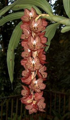 #fragrant #orchids Cycnoches barthiorum smell like cut green bell peppers