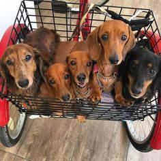 All we want for Christmas is this basket full of sausage dogs