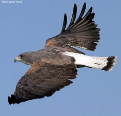 White Tailed Hawk in flight