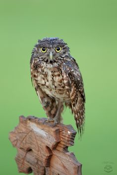 Bad Hair Day - Wet Burrowing Owl in Florida