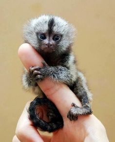 finger monkey-The perfect pet. Way too cute!