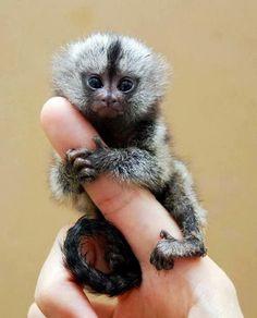 Finger Monkey- I want it. I want a tiny monkey. I want a tiny finger monkey! Small Monkey, Cute Monkey, Monkey Monkey, Buy A Monkey, Monkey Food, Little Monkeys, Cute Little Animals, Adorable Animals, Tiny Baby Animals