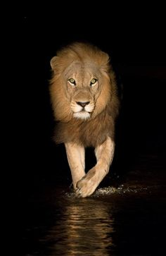 greatanimalseverywhere: phototoartguy: A Lion by Nelis. African Cats, African Animals, Beautiful Cats, Animals Beautiful, Big Cats, Cute Cats, Lion King Animals, Lion And Lioness, Lion Love