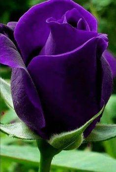 Magnificent dark purple rose.