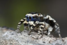 _X8A9306 peacock spider Maratus personatus