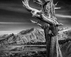 Eastern Sierra - Ancient Pine Bristlecone Pine, Tree Saw, Black And White, Black N White, Black White