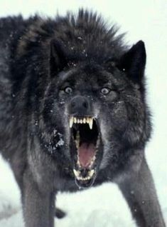 """"""" Thorn growled at the Gray wolf """"Never!"""" He sapped """"THEN DIE!"""" Thorn Barked as he lunged at the wolves neck. Before he knew it blood spilled out like a waterfall. And the gray wolf fell over and was gone. Wolf Spirit, My Spirit Animal, Wolf Pictures, Animal Pictures, Wolf Photos, Beautiful Creatures, Animals Beautiful, Animals And Pets, Cute Animals"""