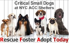Critical Small Dogs at NYC ACC shelters. PLEASE, #Share #Rescue #Foster #Adopt #Today CLICK HERE to see them ALL ► https://www.facebook.com/media/set/?set=a.209218579264420.1073741855.112453902274222&type=3   ALL these little pups need #Rescue #Fosters or #Adopters & that ASAP as they are in high-kill shelters. If you cannot foster or adopt, please share them far & wide. Thank you!!