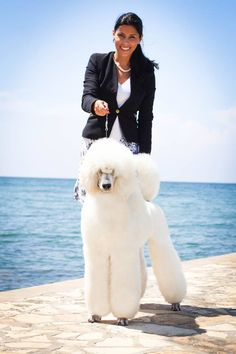 Piedmont Poodles are world renowned for our show dogs. Our Poodles & Dalmatians win Dog Shows world-wide Surrogacy, Dalmatians, Dog Show, Lady Dior, Poodles, Amp, World, Dogs, Animals