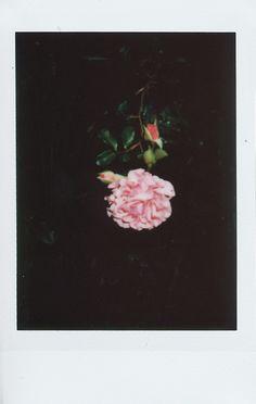 #roses #polaroid