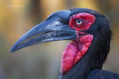 "A Ground Hornbill close up portrait. Image captured during   <a href="" http://www.southcapeimages.com/Kruger_-_The_Big_Cats.html"" target=""_blank"">The Big Cats</a>   tour recently concluded. Join our next photo safari at  <a href=""www.southcapeimages.com"" target=""_blank"">www.southcapeimages.com</a>   These birds are ground-dwelling, unlike other hornbills and feed on insects, snakes, other birds, amphibians and even tortoises.They are among the longest-lived of all birds, with the larger…"