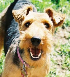 My absolute favourite breed of Dog...the Welsh Terrier