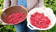 Just a sample of what our juicy raspberry plants produce. Raspberry Plants, Red Raspberry, Raspberries, Fruit, Garden, Sweet, Food, Candy, Garten