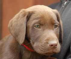 MMKennels.com chocolate Lab puppy