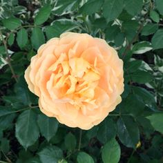 With their blazing energy, orange roses are the wild child of the rose family.