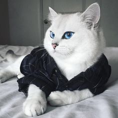 14 Superb Pictures Of The Most Magnificent British Shorthair Cats Funny Cats, Funny Animals, Cute Animals, Animal Gato, Mundo Animal, British Shorthair, White Cats, Funny Cat Pictures, Beautiful Cats