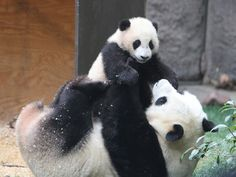 Baby panda plays with its mom.