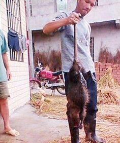 Godzilla Rat: 5 Kilogram Rat Caught In Central China, Then Eaten