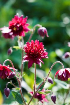 A firm favourite with garden designers - Aquilegia 'Ruby Port'