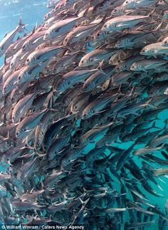 A school of fish swimming past in the Cabo Pulmo marine protected area in Baja California