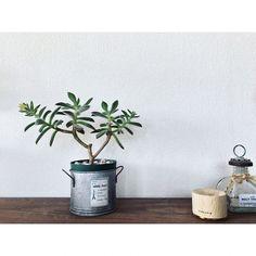植物/多肉植物/花が咲きました/ハムシーのインテリア実例 - 2017-06-06 12:19:30   RoomClip(ルームクリップ)