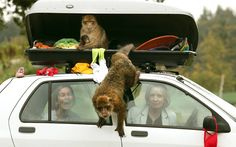 Sasha Muir and Margaret Davidson sit in a car as some of the thirty Barbary macaques known as The 'Middle Hill Troop' after living between the top of Gibraltar rock and the town, show what happens when car drivers forget to lock their luggage compartment, as Scotland's only monkey drive through section opens at Blair Drummond Safari Park.