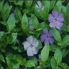 Vinca minor - Myrtle - Vinca minor (periwinkle)  is a perennial evergreen ground cover that is winter hardy.