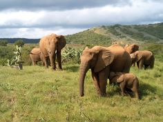 Five wildlife clips captured at Addo Elephant Park - Holiday Bug Tourism In South Africa, South Africa Tours, African Elephant, African Animals, African Safari, Elephants Never Forget, Save The Elephants, Baby Elephants, Giraffes