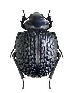 Pimelia superba – Tenebrionidae; subfamily Pimeliinae