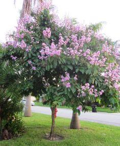 Resedá – Lagerstroemia speciosa – Arvoreta largamente utilizada na arborização urbana.