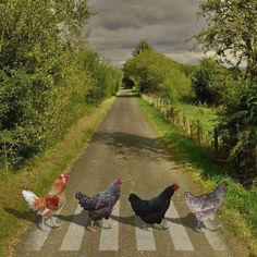 Why did the Chickens cross Abbey Road? to parody The Beatles but w chickens! Farm Animals, Animals And Pets, Funny Animals, Cute Animals, Beautiful Birds, Animals Beautiful, Chickens And Roosters, Pet Chickens, Mundo Animal