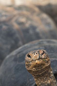 *Ancient One (Tortoise - Galapagos Islands, Ecuador). Tortoise House, Tortoise Care, Tortoise Turtle, Sulcata Tortoise, Animals And Pets, Cute Animals, Turtle Time, Terrapin, Galapagos Islands