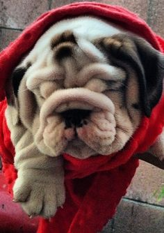 cutest squishy wrinkled face{ The Puppy Face of a English Bull dog}