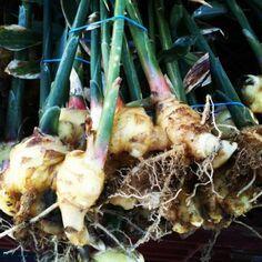 Fresh Ginger Root, the wonder root! San Francisco Farmers Market.