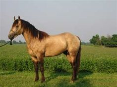 buckskin horses - always wanted one