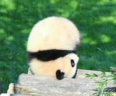 Upside Down Panda Niedlicher Panda, Cute Panda, Cute Little Animals, Cute Funny Animals, Mundo Animal, Cute Bears, Cute Animal Pictures, My Spirit Animal, Cute Creatures