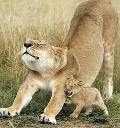 Beautiful Cats, Animals Beautiful, Cute Baby Animals, Animals And Pets, Big Cats, Cute Cats, Lioness And Cubs, Photo Animaliere, Wild Lion