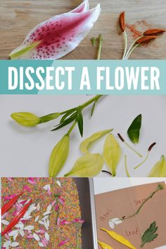 Plant Science – Dissect a flower and more plant experiments Fun plant experiments, great for learning about the structure and function of the different parts of a flower. Dissect a flower and more plant science Plant Experiments, Biology Experiments, Science Experiments For Preschoolers, Plant Science, Preschool Science, Science For Kids, Summer Science, Science Chemistry, Science Fun