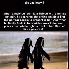 33 Awesome Marriage Proposals You Couldn't Say No To -- With a pebble and some waddling, like penguin love. Good To Know, Did You Know, Rebel, Funny Animals, Cute Animals, Crazy Animals, Penguin Love, Penguin Facts, True Love