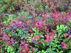 Vaccinium myrtillus by Luigi Strano FDV, via Flickr Trees To Plant, Tree Planting, Deciduous Trees, Biomes, Medicinal Plants, Old World, Evergreen, Shrubs, Blueberry