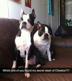 """Boston Terriers """"Busted!"""""""