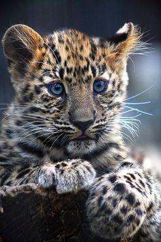 I'm Lisa — Leopard Cub - Wildlife Cute Baby Animals, Animals And Pets, Funny Animals, Wild Animals, Big Cats, Cats And Kittens, Cute Cats, Beautiful Cats, Animals Beautiful