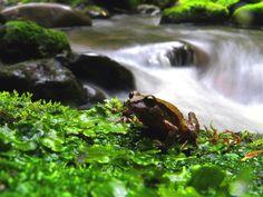Sapo (Eupsophus calcaratus) Lago Colico región de la Araucanía. Fotografía: Daniel Gomez-Lobo Fehling