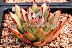 Echeveria agavoides Mexico Ebony Fire plant  ariocarpus haworthia cactus agave