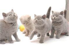 5 BKH Kitten (Lehrensteinsfeld)